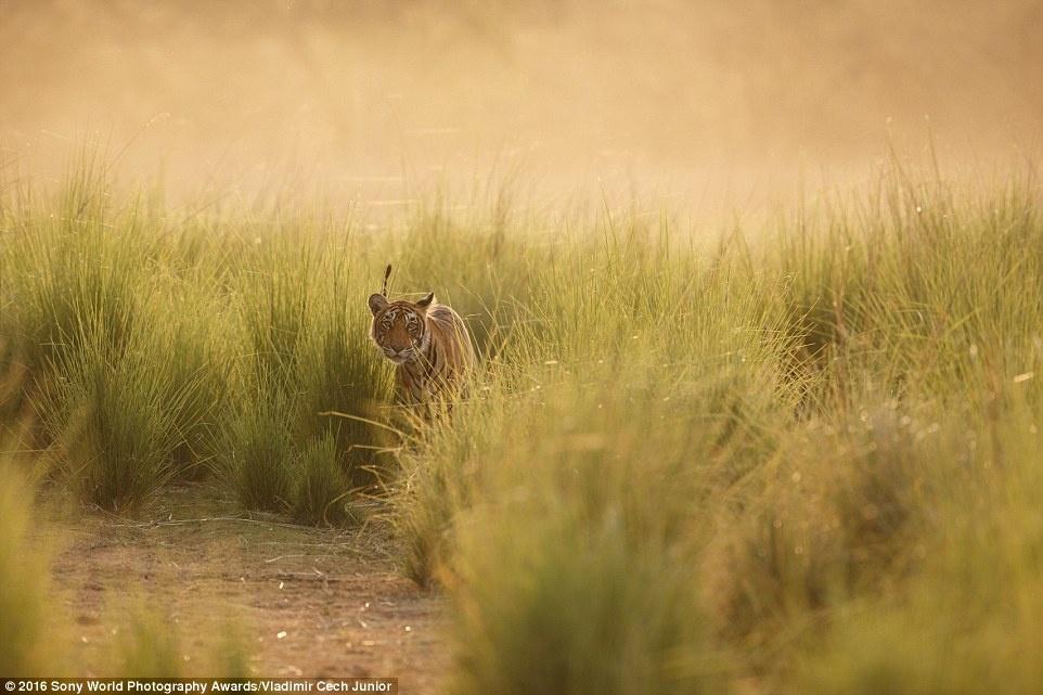Anh khien du khach chi muon len duong hinh anh 14 Vladimir Cech Junior (Cộng hòa Czech) chụp một chú hổ ẩn mình trong vạt cỏ dài ở Ấn Độ.