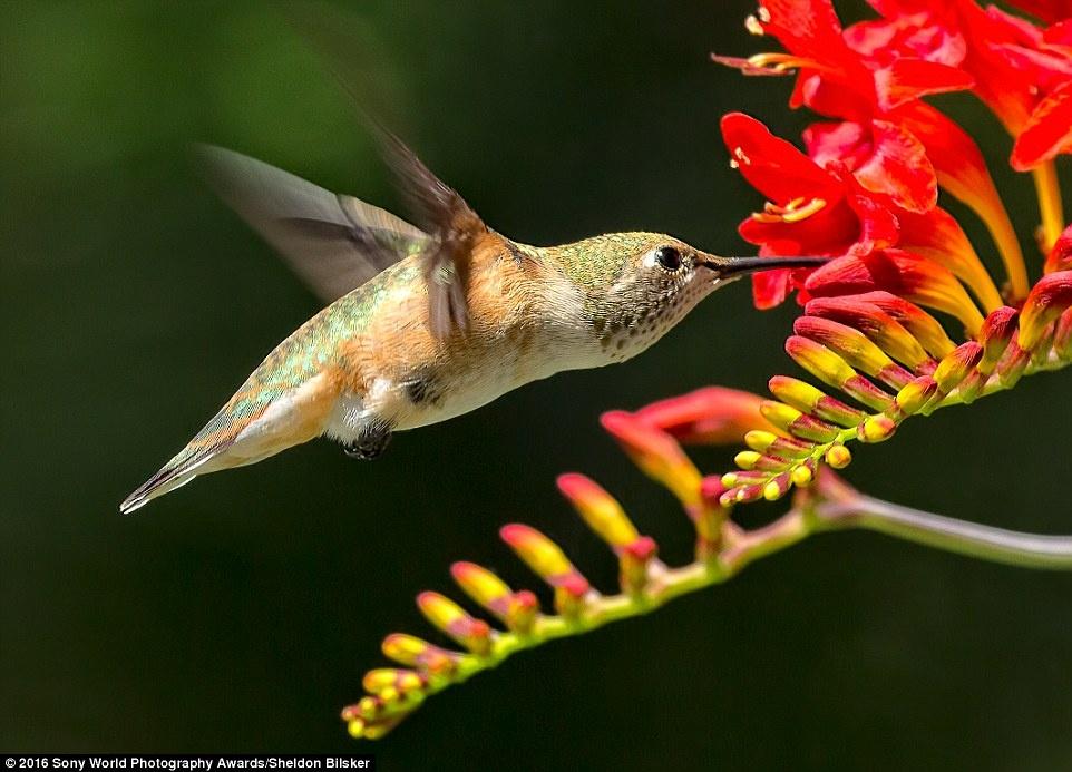 Anh khien du khach chi muon len duong hinh anh 17 Sheldon Bilsker (Canada) chia sẻ bức ảnh một chú chim ruồi đang kiếm ăn.