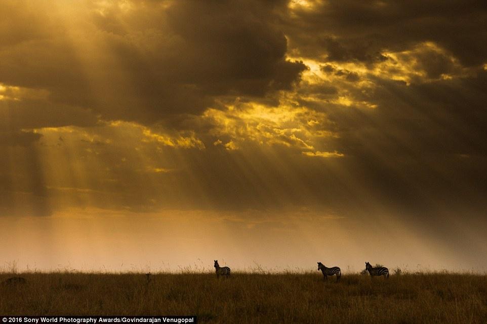 Anh khien du khach chi muon len duong hinh anh 19 Govindarajan Venugopal (Ấn Độ) dự thi với bức ảnh chụp những con ngựa vằn trong ánh bình minh.