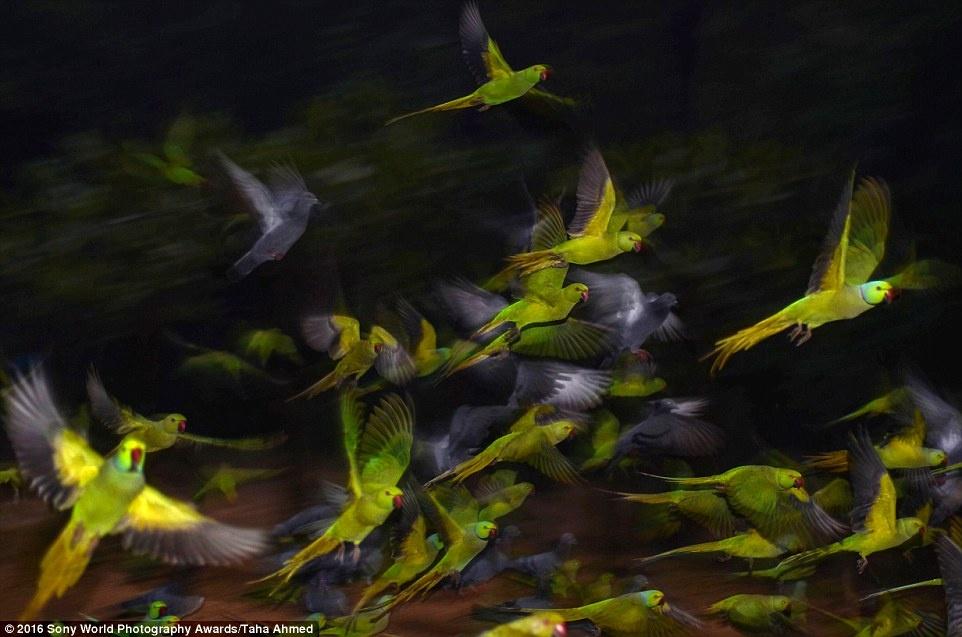 Anh khien du khach chi muon len duong hinh anh 20 Taha Ahmed (Ấn Độ) chụp những chú chim rực rỡ sắc màu trong chuyến bay đêm.