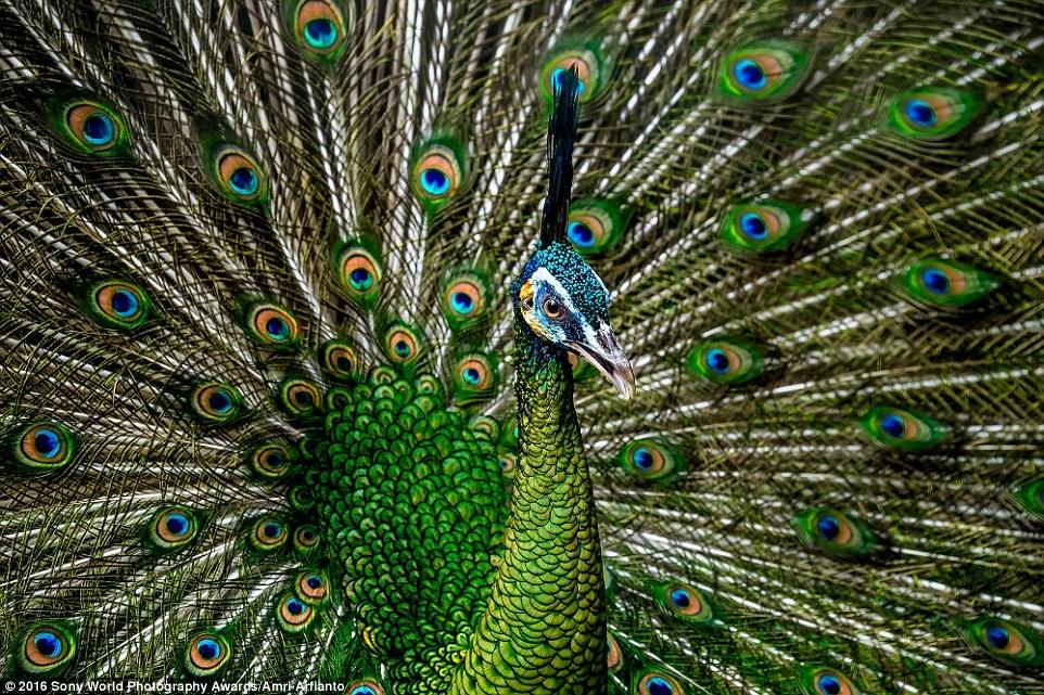 Anh khien du khach chi muon len duong hinh anh 4 Amri Arfianto (Indonesia) tham dự cuộc thi với bức ảnh chụp chú chim công sắc nét tới từng chi tiết.