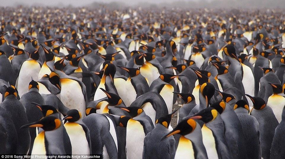 Anh khien du khach chi muon len duong hinh anh 5 Hàng trăm con chim cánh cụt vua xuất hiện trong ảnh của Antje Kakuschke (Đức).