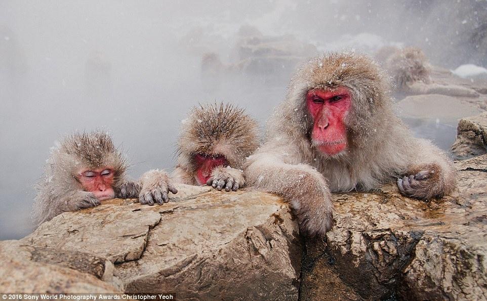 Anh khien du khach chi muon len duong hinh anh 6 Những con khỉ đang ngâm mình trong suối nước nóng trong trời tuyết rơi nhẹ ở Nhật Bản dưới góc máy của Christopher Yeoh (Australia).