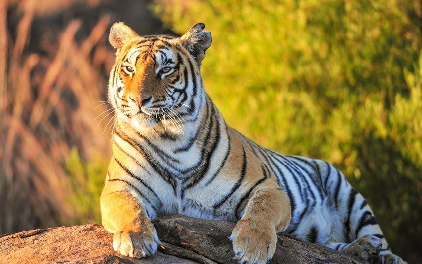 12. Ngắm hổ trong thế giới tự nhiên: Số lượng hổ trong tự nhiên đã giảm 97% trong thế kỷ qua, hiện tại chỉ còn khoảng 3.000 con. Môi trường sống bị phá hoại khiến việc được thấy những con vật tuyệt đẹp này ngoài sở thú sẽ sớm trở thành điều không thể.