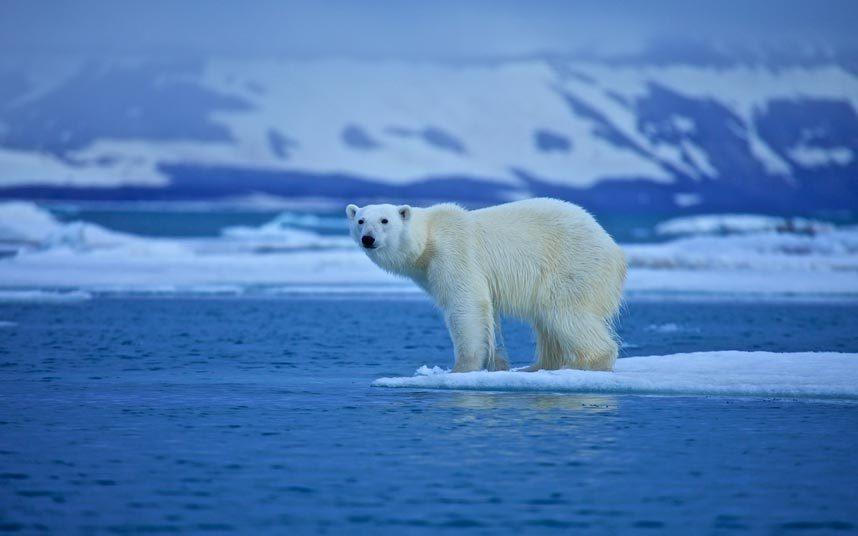 9. Quan sát gấu Bắc Cực: Tiếp cận loài săn mồi lớn nhất trên đất liền này là một trải nghiệm khó quên. Loài động vật ấn tượng này đang đứng trên bờ vực tuyệt chủng, khi băng ở Bắc Cực đang tan dần khiến chúng khó săn mồi hơn.
