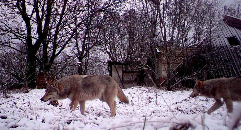 Vuong quoc dong vat hoang da o vung phong xa Chernobyl hinh anh 2