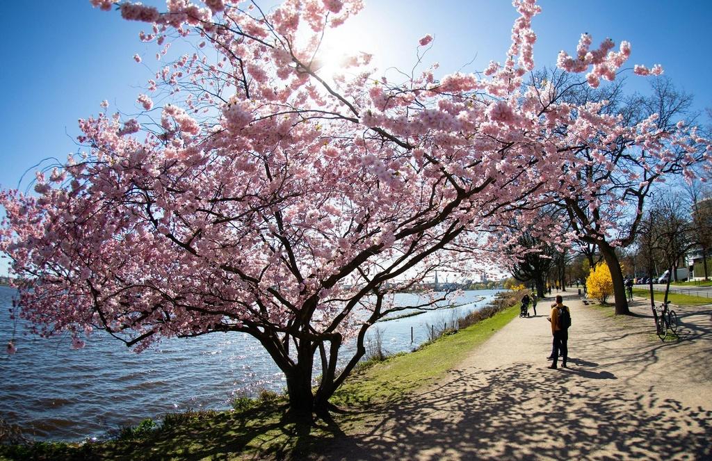 Hoa anh dao bung no tu Tokyo den Washington D.C. hinh anh 8