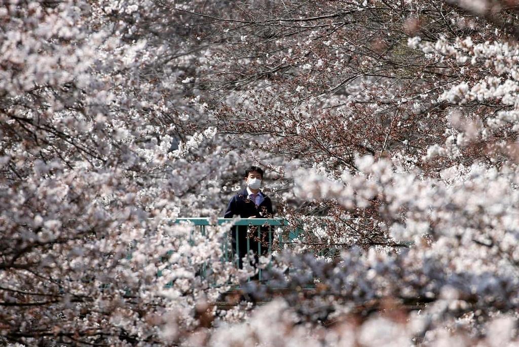 Hoa anh dao bung no tu Tokyo den Washington D.C. hinh anh 6