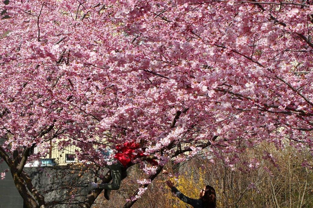Hoa anh dao bung no tu Tokyo den Washington D.C. hinh anh 10