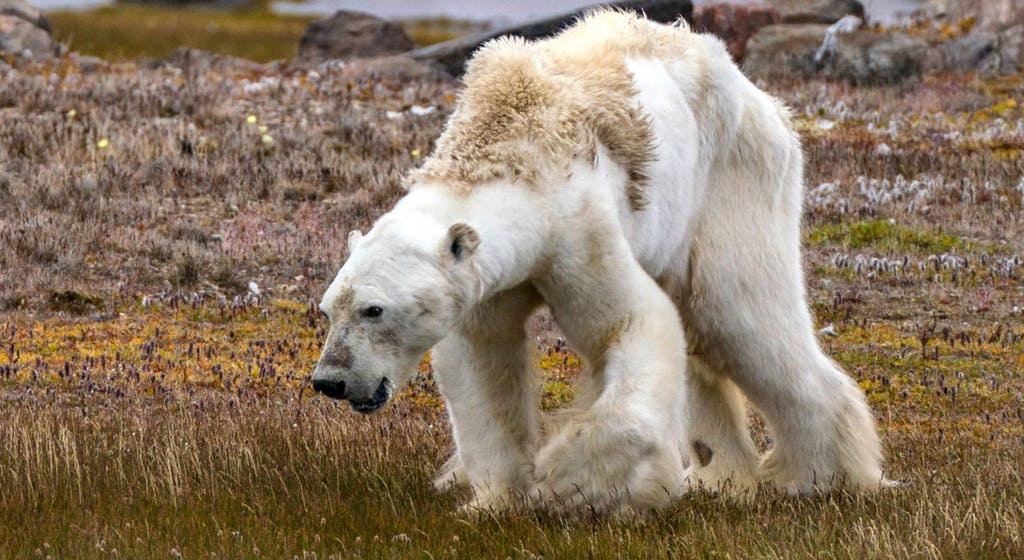 Bien doi khi hau day gau Bac Cuc vao tham kich an thit lan nhau hinh anh 4 Article_Starving_Polar_Bear_Photographer_Explains.jpg