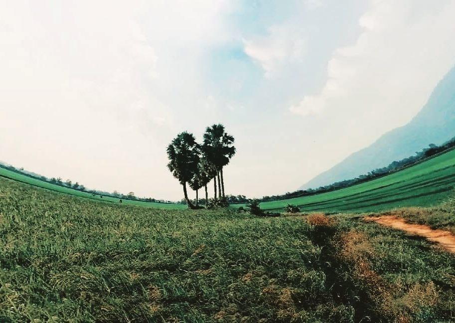 Vẻ đẹp cây thốt nốt trái tim ở An Giang trước khi bị chặt lá