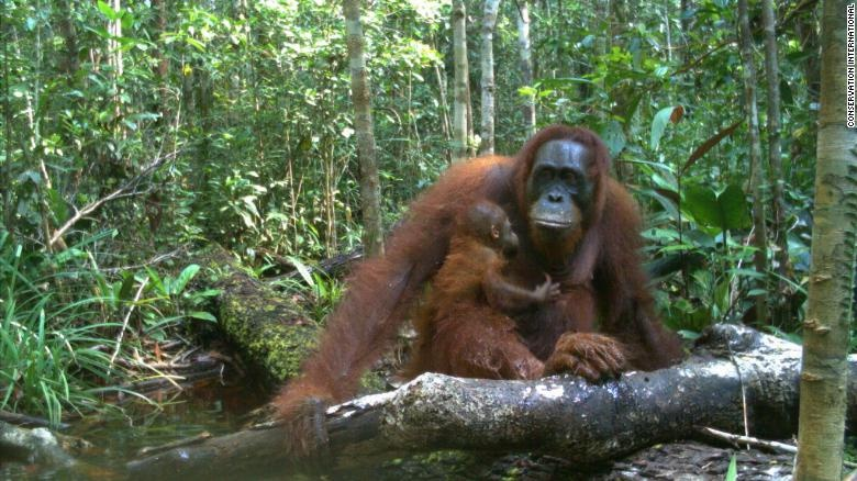 Hang trieu hinh chup bang bay anh duoc mo cho nguoi dung Internet hinh anh 11 200108145720_wildlife_insights_bornean_orangutan_camera_trap_exlarge_169.jpg