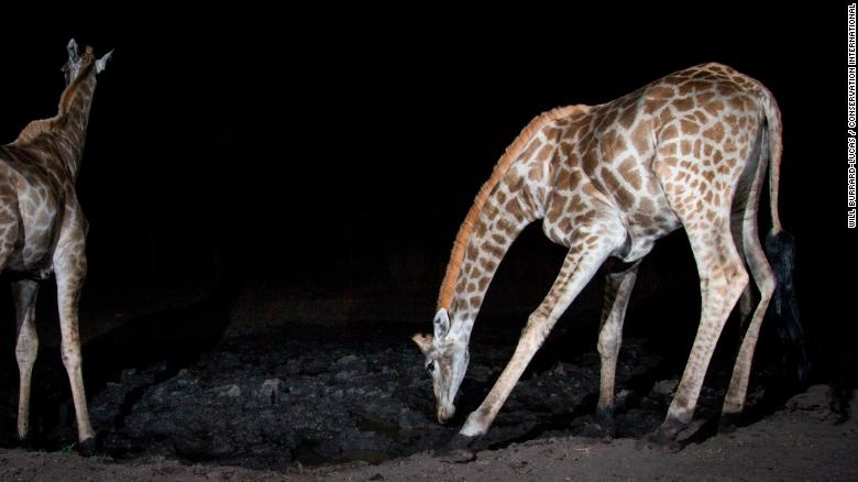 Hang trieu hinh chup bang bay anh duoc mo cho nguoi dung Internet hinh anh 13 200108161018_wildlife_insights_giraffes_exlarge_169.jpg