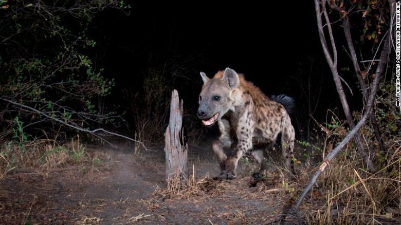 Hang trieu hinh chup bang bay anh duoc mo cho nguoi dung Internet hinh anh 5 200108164134_wildlife_insights_spotted_hyena_exlarge_169.jpg