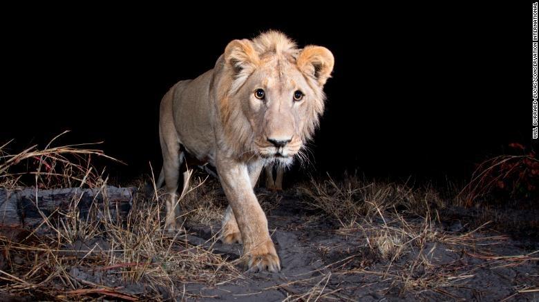 Hang trieu hinh chup bang bay anh duoc mo cho nguoi dung Internet hinh anh 4 200108164952_lion_wildlife_insights_exlarge_169.jpg
