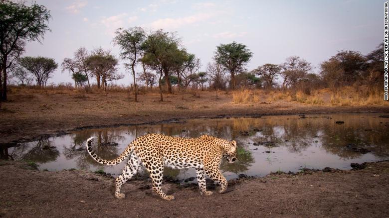 Hang trieu hinh chup bang bay anh duoc mo cho nguoi dung Internet hinh anh 10 200108165545_leopard_wildlife_insights_exlarge_169.jpg