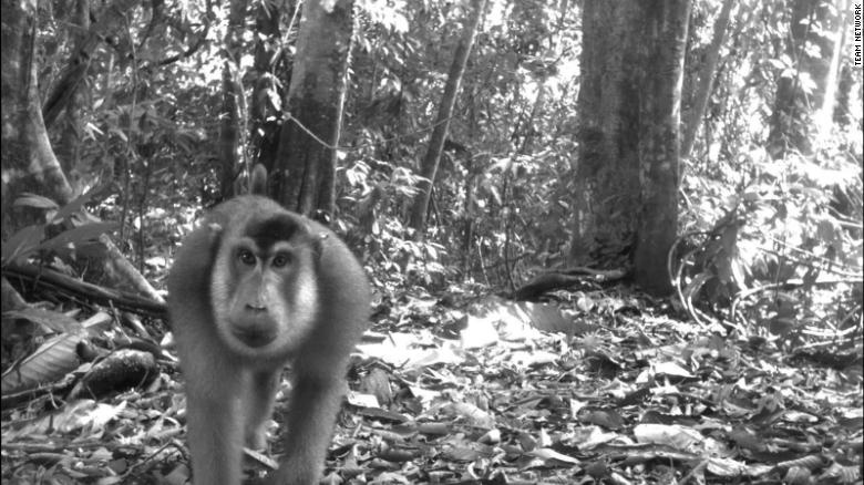 Hang trieu hinh chup bang bay anh duoc mo cho nguoi dung Internet hinh anh 14 200108170138_wildlife_insights_pig_tailed_macaque_exlarge_169.jpg