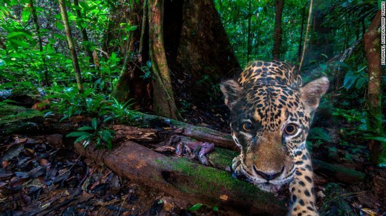 Hang trieu hinh chup bang bay anh duoc mo cho nguoi dung Internet hinh anh 1 200113155712_jaguar_wildlife_insights_2_exlarge_169.jpg