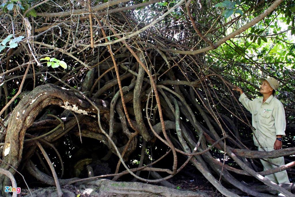 Nhung cay xanh doc nhat tu thuo Sai Gon lap dia hinh anh 1 Theo chú Nguyễn Văn Sang đội phó đội cây xanh, người hơn 50 năm gắn bó với vườn thì cây dây gùi này là đại diện duy nhất và cuối cùng của rừng nguyên sinh Sài Gòn xưa còn đến hiện nay. Ngày trước Sài Gòn là một khu rừng nguyên sinh lớn, người Pháp khai phá mở rộng để xây dựng đô thị. Theo thời gian rất nhiều thảm thực vậy đặc hữu rừng nguyên sinh bị dẹp bỏ, chỉ giữ lại những cây cổ thụ lớn. Và cây dây gùi này là đại diện cuối cùng. Xét về tuổi cây còn lâu năm hơn cả thảo cảm viên.