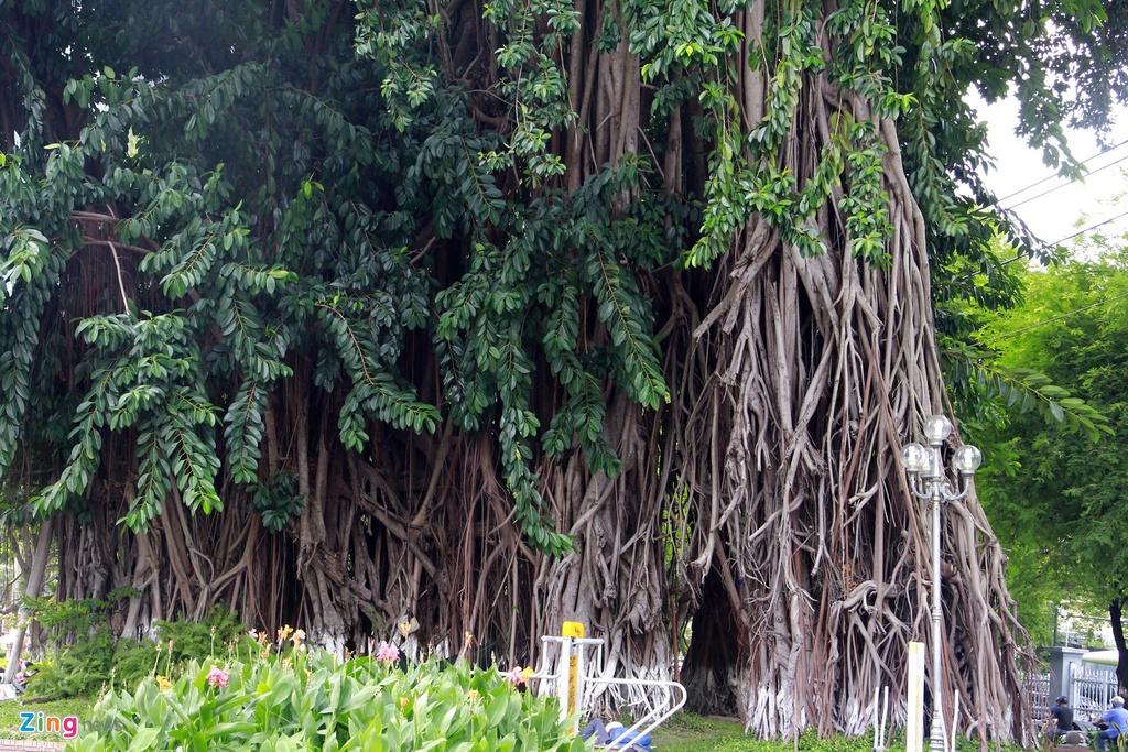 Nhung cay xanh doc nhat tu thuo Sai Gon lap dia hinh anh 3 Lâu năm nhất Sài Gòn phải nói đến cây đa cổ thụ trên đường Lý Tự Trọng ngay trước Bảo tàng Thành phố Hồ Chí Minh, cây đã hơn 300 năm tuổi.