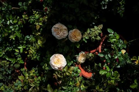 Hoa hong Sa Dec chay hang truoc Tet hinh anh 9