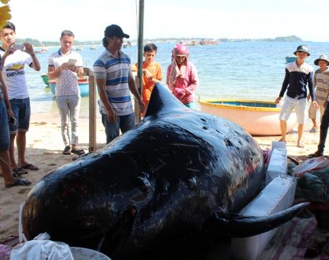 Ca 'Ong Chuong' hon 700 kg dat vao bo bien Quang Ngai hinh anh