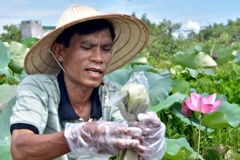 #Zingreview: Thuong tra uop sen diu thom cua Quang Ngai hinh anh