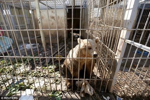 Cap doi gau va su tu 'cho vo' trong chien tranh Syria hinh anh 3
