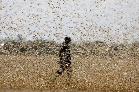 Ba kịch bản ứng phó châu chấu sa mạc xâm nhập vào Việt Nam