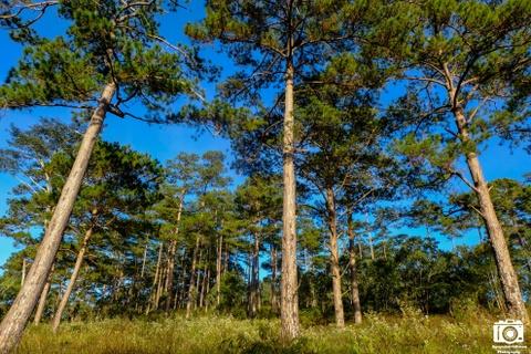 Ve me hoac cua ho Tuyen Lam sang som mua dong hinh anh 2 Hai bên bờ của hồ Tuyền Lâm là những cánh rừng thông xanh mướt.