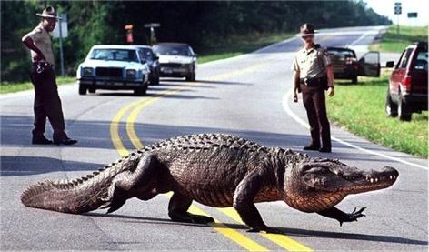 Cá sấu khổng lồ xuất hiện tràn lan ở Florida