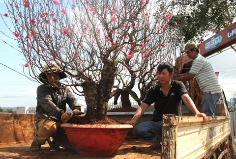 Nguoi dan o Tay Nguyen ghep thanh cong hoa dao co 3 mau hinh anh 5