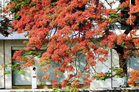 Hoa phuong do ruc ro khap Ha Noi hinh anh 10