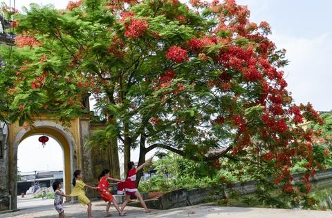 Hoa phuong do ruc ro khap Ha Noi hinh anh 13