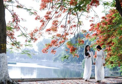 Hoa phuong do ruc ro khap Ha Noi hinh anh 6