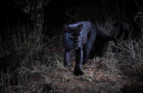 Báo đen cực hiếm được chụp lại lần đầu tiên sau 100 năm ở châu Phi