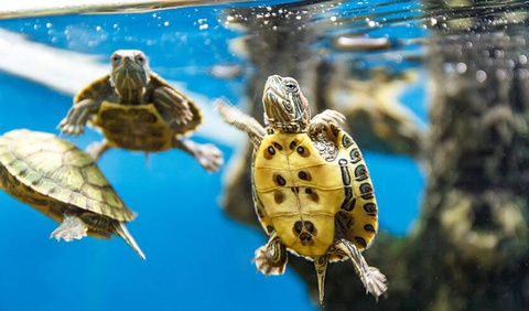 Loài rùa nào được chọn để chế biến thạch cao quy linh?