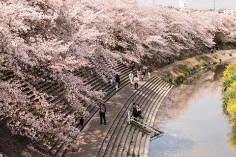 Lịch anh đào nở trên khắp nước Nhật năm 2019