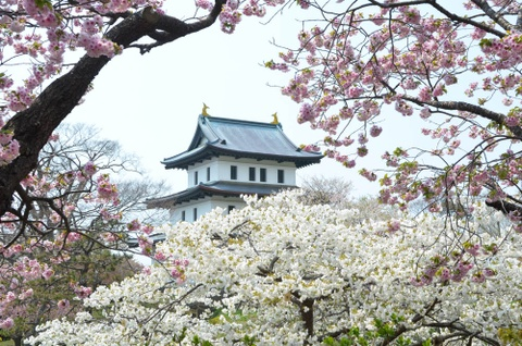 Vi sao nguoi Nhat Ban goi hoa anh dao la Sakura? hinh anh