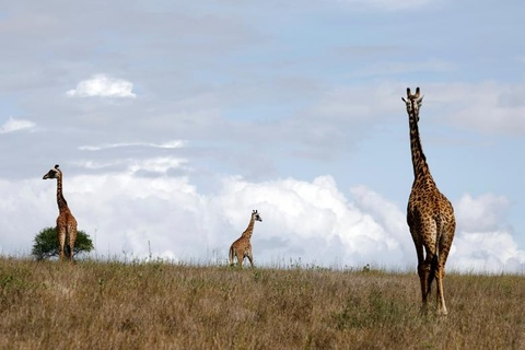 Nairobi - thu do duy nhat the gioi dong vat hoang da tu do di lai hinh anh 4