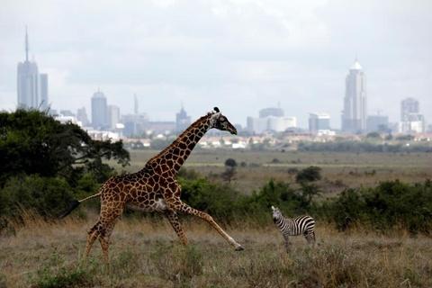 Nairobi - thu do duy nhat the gioi dong vat hoang da tu do di lai hinh anh 9