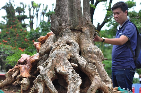 Goc vu sua ky quai gia 120 trieu o hoi thi bonsai hinh anh 4