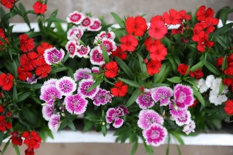 Cac nha tho chuan bi don Giang sinh hinh anh 8 Những chậu hoa tươi được mang về đặt xung quanh hang đá