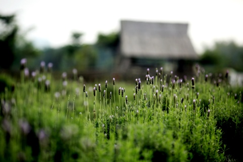 Canh dong hoa lavender dau tien o Ha Noi hinh anh 3