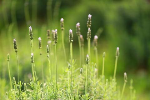 Canh dong hoa lavender dau tien o Ha Noi hinh anh 4