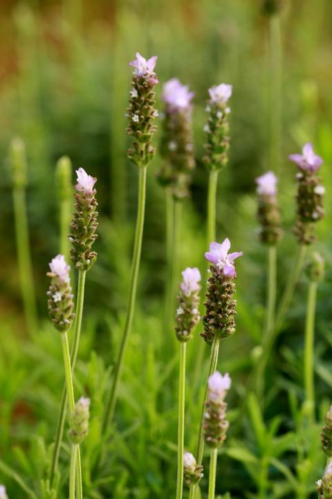 Canh dong hoa lavender dau tien o Ha Noi hinh anh 5