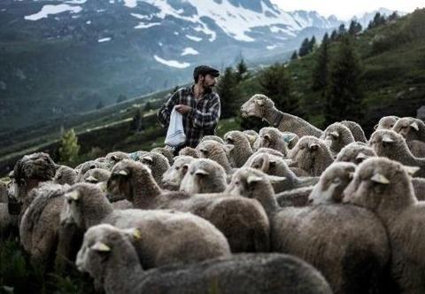 Loài sói rình rập cuộc sống người chăn cừu trên dãy núi Alps