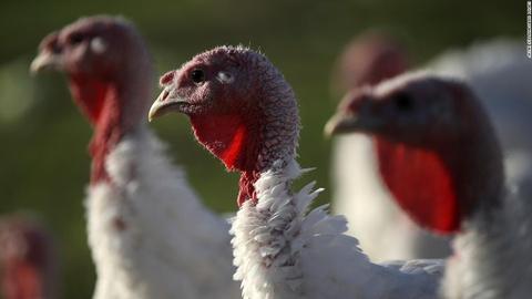 Vi khuẩn chết người trên gà tây bùng phát tại Mỹ trước lễ Tạ ơn
