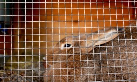 Hàng loạt thỏ bị giết gây sốc cho dân làng tại Pháp