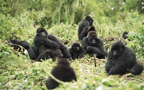 Am thuc via he Viet Nam vao top trai nghiem tuyet nhat hinh anh 8 Tiếp cận những chú khỉ đột, Rwanda: Đến thăm công viên quốc gia Volcanoes của Rwanda là một trải nghiệm khó quên. Du khách sẽ đi theo con đường mòn xuyên rừng rậm lên đỉnh Virunga, nơi sinh sống của nửa số khỉ đột núi còn tồn tại trên thế giới. Chuyến đi khá vất vả, nhưng bạn sẽ được tiếp cận một trong những loài động vật tuyệt vời nhất thế giới.
